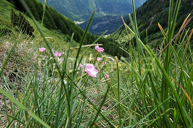ad041253LE : Au-dessus de La Thuile.  Europe, CEE, fleur, herbe, vallée, C02, C01 flore, forêt, gros plan, moyenne montagne, paysage (Italie).