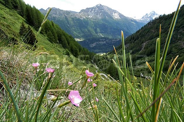 ad041255LE : Au-dessus de La Thuile.  Europe, CEE, fleur, herbe, vallée, C02, C01 flore, forêt, gros plan, moyenne montagne, paysage (Italie).