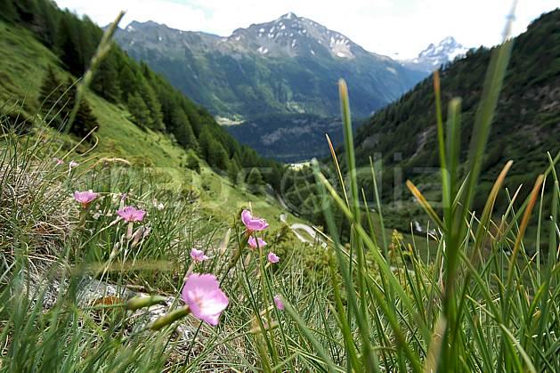 ad041256LE : Au-dessus de La Thuile.  Europe, CEE, fleur, herbe, vallée, C02, C01 flore, forêt, gros plan, moyenne montagne, paysage (Italie).