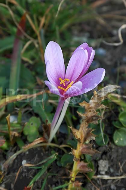 ad042711LE : Colchique.  Europe, CEE, fleur, colchique, C02, C01 Annecy 2018, flore, gros plan, moyenne montagne (France).