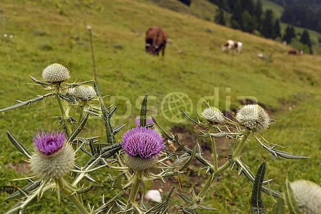 ad055087LE : Chardons.  Europe, CEE, fleur, chardon, alpage, C02, C01 Annecy 2018, flore, gros plan, moyenne montagne (France).