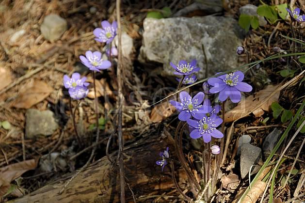 ad061078LE : Fleurs de montagne, Hépatiques, Alpes.  Europe, CEE, fleur, mauve, C02, C01 Annecy 2018, flore, gros plan, moyenne montagne (France).