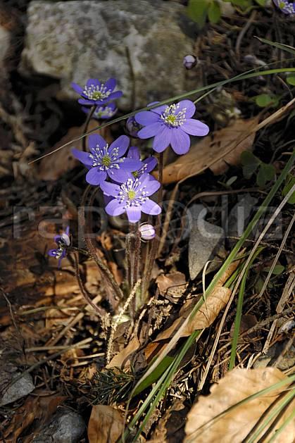 ad061080LE : Fleurs de montagne, Hépatiques, Alpes.  Europe, CEE, fleur, mauve, C02, C01 Annecy 2018, flore, gros plan, moyenne montagne (France).