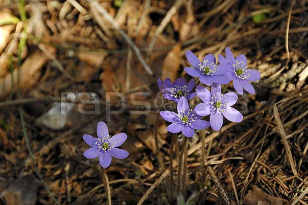 ad061081LE : Fleurs de montagne, Hépatiques, Alpes.  Europe, CEE, fleur, mauve, C02, C01 Annecy 2018, flore, gros plan, moyenne montagne (France).