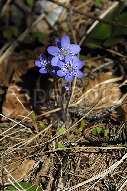 ad061082LE : Fleurs de montagne, Hépatiques, Alpes.  Europe, CEE, fleur, mauve, C02, C01 Annecy 2018, flore, gros plan, moyenne montagne (France).