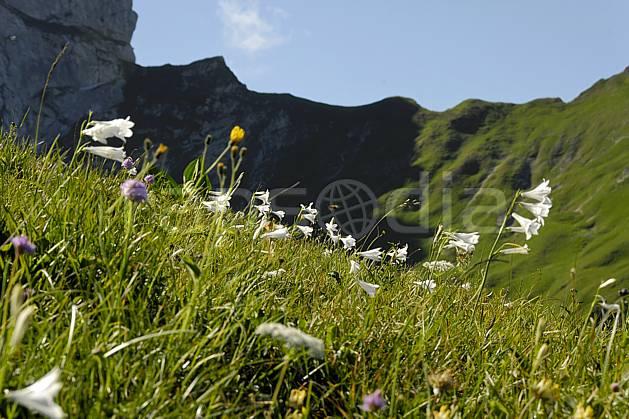 ad062523LE : Massif de la Tournette, Lis de Saint Bruno, Haute-Savoie, Alpes.  Europe, CEE, fleur, C02, C01 Annecy 2018, flore, gros plan, moyenne montagne, paysage (France).
