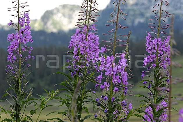 ad062959LE : Epilobes.  Europe, CEE, épilobe, fleur, mauve, C02, C01 Annecy 2018, flore, gros plan, moyenne montagne (France).