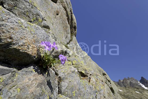 ad071462LE : Primevères farineuses, Aiguilles Rouges, Chamonix, Alpes.  Europe, CEE, fleur, falaise, C02 Annecy 2018, flore, gros plan, moyenne montagne (France).