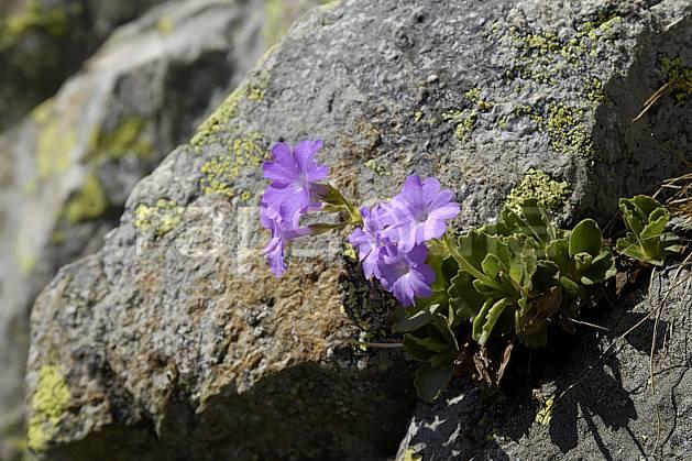 ad071463LE : Primevères farineuses, Aiguilles Rouges, Chamonix, Alpes.  Europe, CEE, fleur, C02 Annecy 2018, flore, gros plan, moyenne montagne (France).