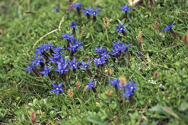 ad1300-20LE : Gentianes printanières, bleues.  Europe, CEE, fleur, fleur bleu, herbe, C02, C01 Annecy 2018, flore, gros plan, moyenne montagne (France).