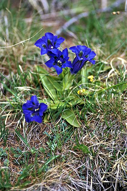 ad2210-07LE : Gentianes bleues, Alpes.  Europe, CEE, fleur, fleur bleu, herbe, C02, C01 Annecy 2018, flore, gros plan, moyenne montagne (France).