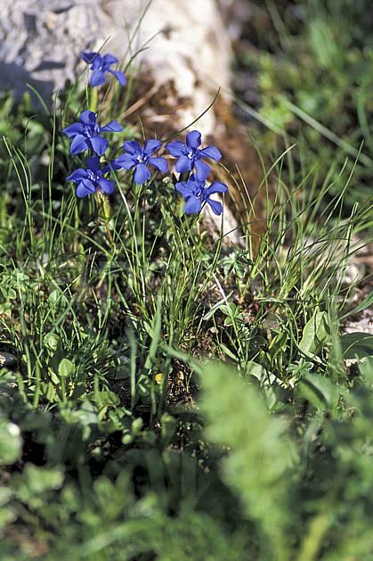 ad2472-26LE : Gentianes bleues, Alpes.  Europe, fleur, fleur bleu, herbe, C02, C01 flore, gros plan, moyenne montagne (Suisse).