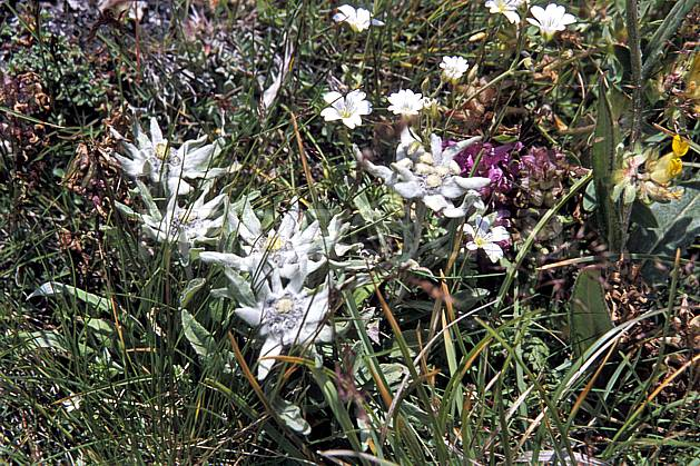 ad2519-03LE : Edelweiss, Alpes.  Europe, Edelweiss, fleur, fleur blanche, C02, C01 flore, gros plan, moyenne montagne (Suisse).