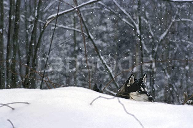 di3104-24LE : Chien de traineaux. chiens de traineaux Amérique du nord, Amérique, sport, loisir, action, sport de montagne, C02, C01 faune, forêt (Canada Québec).
