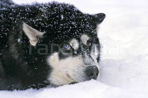 di3104-30LE : Chien de traineaux. chiens de traineaux Amérique du nord, Amérique, sport, loisir, action, sport de montagne, C02, C01 faune (Canada Québec).
