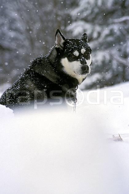 di3104-34LE : Chien de traineaux. chiens de traineaux Amérique du nord, Amérique, sport, loisir, action, sport de montagne, mauvais temps, vent, C02, C01 faune (Canada Québec).