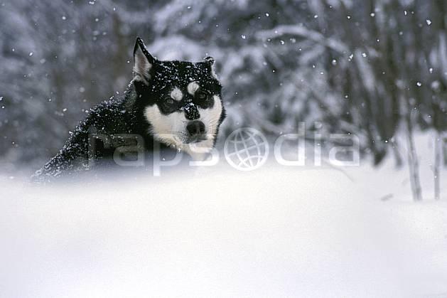 di3104-36LE : Chien de traineaux. chiens de traineaux Amérique du nord, Amérique, sport, loisir, action, sport de montagne, mauvais temps, vent, C02, C01 faune (Canada Québec).