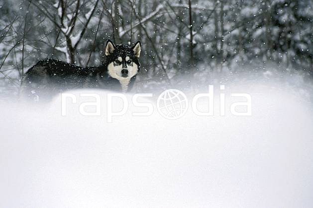 di3105-07LE : Chien de traineaux. chiens de traineaux Amérique du nord, Amérique, sport, loisir, action, sport de montagne, mauvais temps, vent, C02, C01 faune, forêt (Canada Québec).