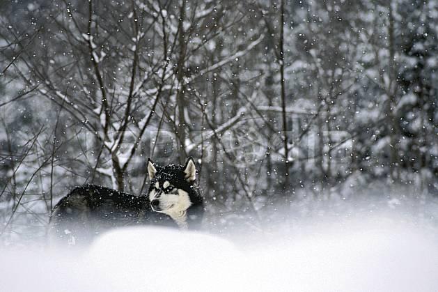 di3105-08LE : Chien de traineaux. chiens de traineaux Amérique du nord, Amérique, sport, loisir, action, sport de montagne, mauvais temps, vent, C02, C01 faune, forêt (Canada Québec).