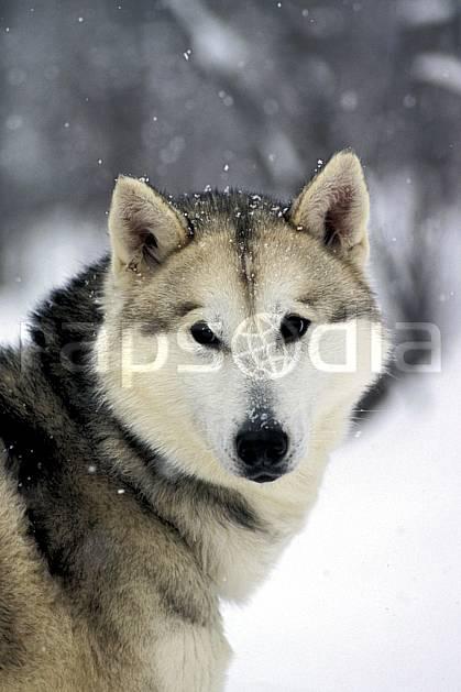 di3105-12LE : Chien de traineaux. chiens de traineaux Amérique du nord, Amérique, sport, loisir, action, sport de montagne, C02, C01 faune (Canada Québec).
