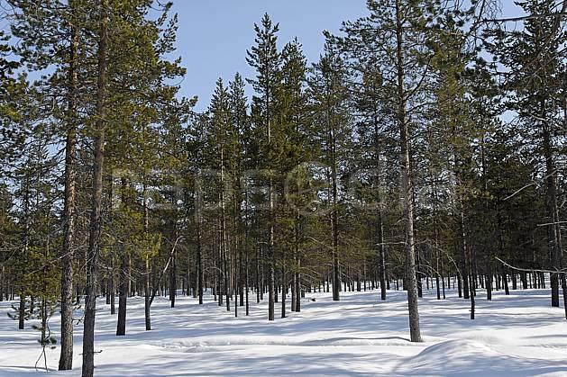 ea061664LE : Forêt de conifères, Laponie.  Europe, CEE, C02, C01 arbre, forêt, paysage, voyage aventure (Finlande).