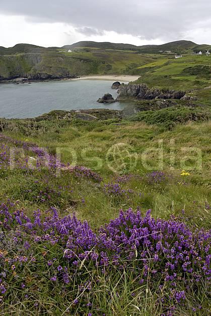 ea071982LE : Bruyère, Fanad Head, Donegal.  Europe, CEE, littoral, fleur, plage, C02 flore, mer, paysage, voyage aventure (Irlande).