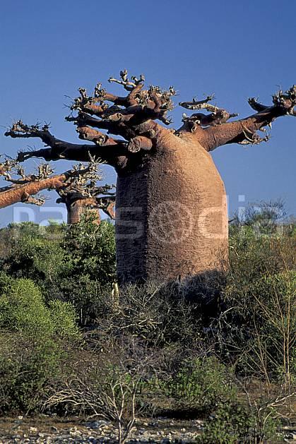 ea2268-23LE : Baobabs bouteille.  Afrique, Afrique de l'est, baobab, ciel bleu, C02, C01 arbre, paysage, voyage aventure (Madagascar).