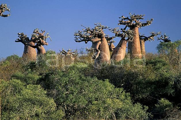 ea2268-24LE : Baobabs bouteille.  Afrique, Afrique de l'est, baobab, ciel bleu, C02, C01 arbre, paysage, voyage aventure (Madagascar).