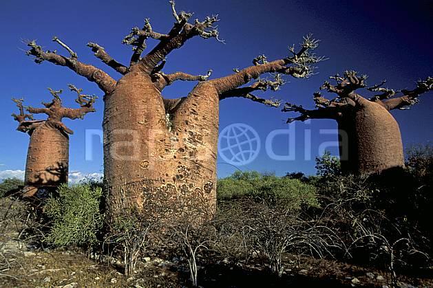 ea2268-25LE : Baobabs bouteille.  Afrique, Afrique de l'est, baobab, ciel bleu, C02, C01 arbre, paysage, voyage aventure (Madagascar).