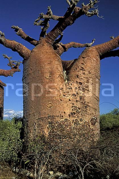 ea2268-26LE : Baobabs bouteille.  Afrique, Afrique de l'est, baobab, ciel bleu, C02, C01 arbre, paysage, voyage aventure (Madagascar).
