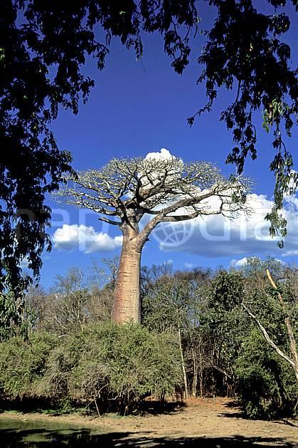 ea2278-13LE : Morondava.  Afrique, Afrique de l'est, baobab, ciel bleu, C02, C01 arbre, paysage, voyage aventure (Madagascar).