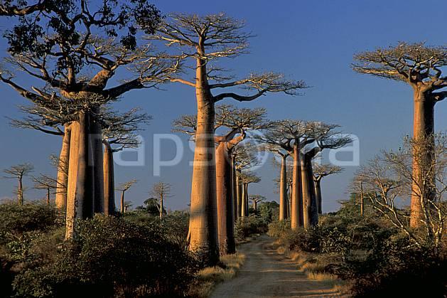 ea2278-26LE : L'Allée des Baobabs, Morondava.  Afrique, Afrique de l'est, baobab, ciel bleu, C02, C01 arbre, paysage, voyage aventure (Madagascar).