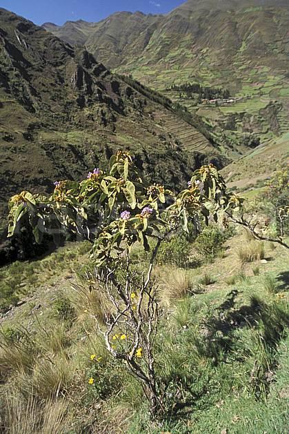 ea2711-19LE : Au dessus de Chavin.  Amérique du sud, Amérique Latine, ciel bleu, fleur, C02, C01 flore, paysage, voyage aventure (Pérou).