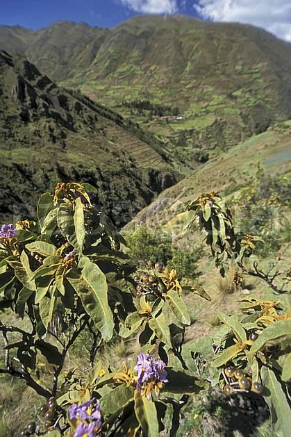 ea2711-21LE : Au dessus de Chavin.  Amérique du sud, Amérique Latine, fleur, fleur violette, C02, C01 flore, paysage, voyage aventure (Pérou).