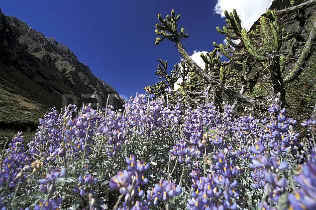ea2725-37LE : Quebrada Santa Cruz.  Amérique du sud, Amérique Latine, cactus, ciel bleu, fleur, fleur violette, C02, C01 flore, paysage, voyage aventure (Pérou).