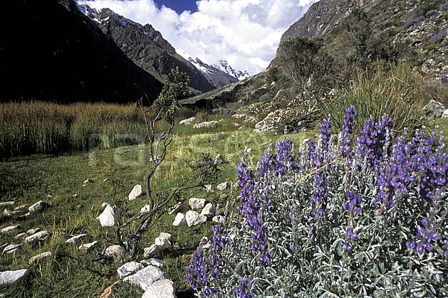 ea2726-09LE : Quebrada Santa Cruz.  Amérique du sud, Amérique Latine, ciel nuageux, fleur, fleur violette, C02, C01 flore, paysage, voyage aventure (Pérou).