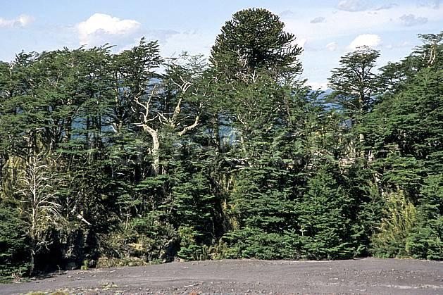 ea3186-05LE : Patagonie.  Amérique du sud, Amérique Latine, Amérique, C02, C01 arbre, forêt, moyenne montagne, paysage, voyage aventure (Argentine).