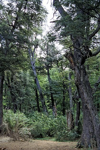 ea3196-05LE : Patagonie.  Amérique du sud, Amérique Latine, Amérique, C02, C01 arbre, forêt, paysage, voyage aventure (Argentine).
