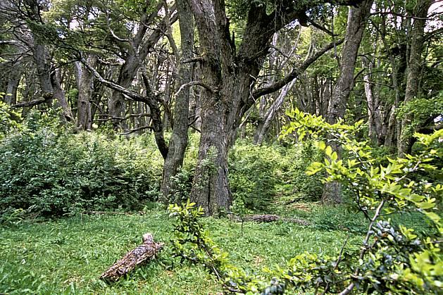 ea3196-07LE : Patagonie.  Amérique du sud, Amérique Latine, Amérique, C02, C01 arbre, forêt, paysage, voyage aventure (Argentine).