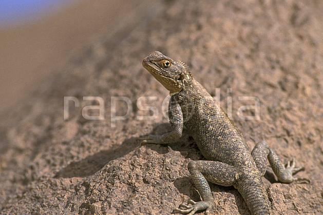 ec0357-16LE : Lézard.  Afrique, Afrique du nord, lézard, C02, C01 faune, voyage aventure, gros plan (Algérie).