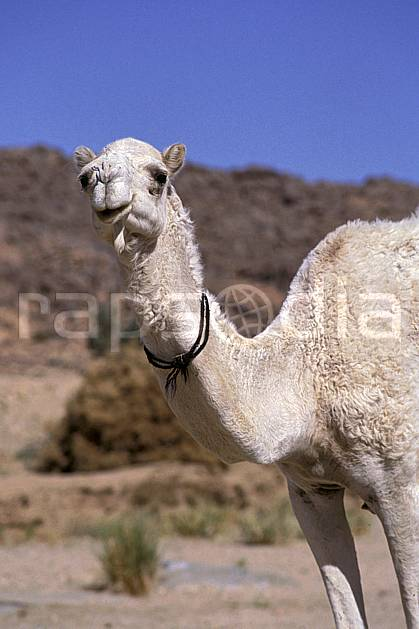 ec0363-25LE : Dromadaire, Tamanrasset.  Afrique, Afrique du nord, ciel bleu, dromadaire, C02, C01 faune, voyage aventure (Algérie).