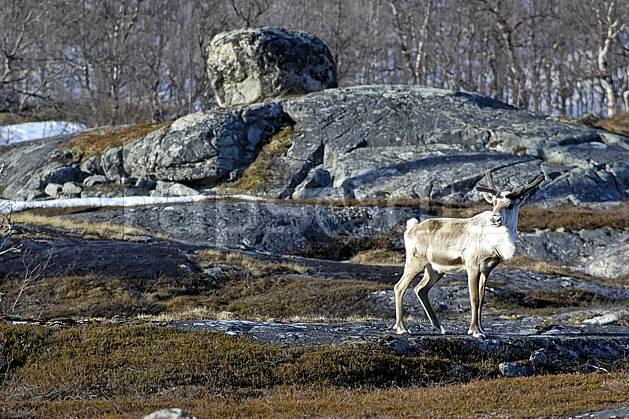 ec054377LE : Renne.  Europe, CEE, C02, C01 faune, moyenne montagne, paysage, voyage aventure (Norvège).