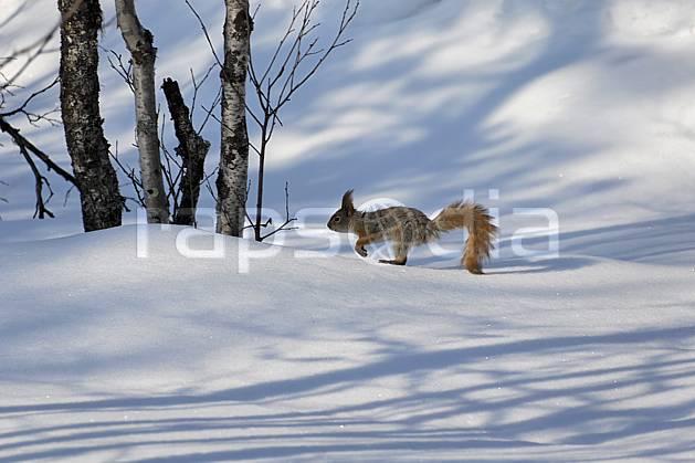 ec061295LE : Ecureuil, Laponie.  Europe, CEE, écureuil, C02, C01 faune, voyage aventure (Finlande).