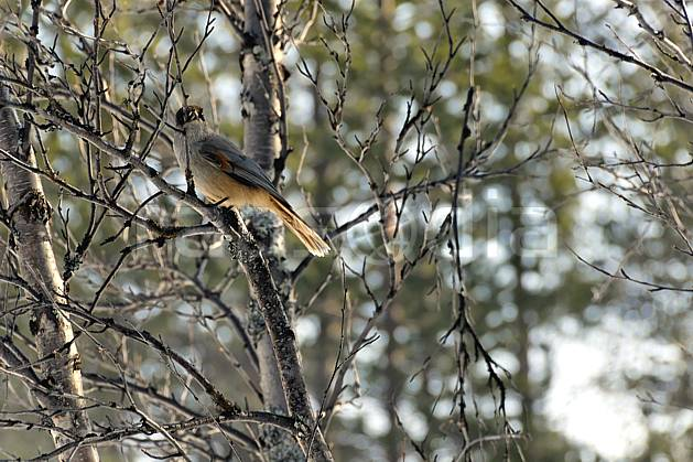 ec061302LE : Oiseau, Laponie.  Europe, CEE, C02, C01 faune, forêt, voyage aventure (Finlande).
