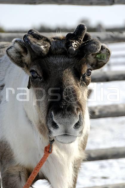 ec061553LE : Renne avec jeunes bois, Vuotso, Laponie.  Europe, CEE, C02, C01 faune, personnage, voyage aventure (Finlande).