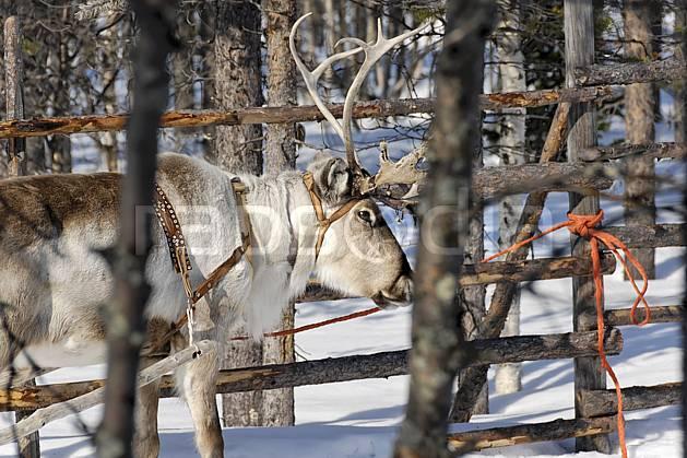 ec061599LE : Renne, Vuotso, Laponie.  Europe, CEE, traineau, C02, C01 faune, voyage aventure (Finlande).