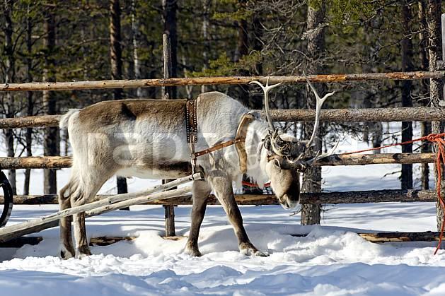 ec061602LE : Renne, Vuotso, Laponie.  Europe, CEE, traineau, C02, C01 faune, voyage aventure (Finlande).