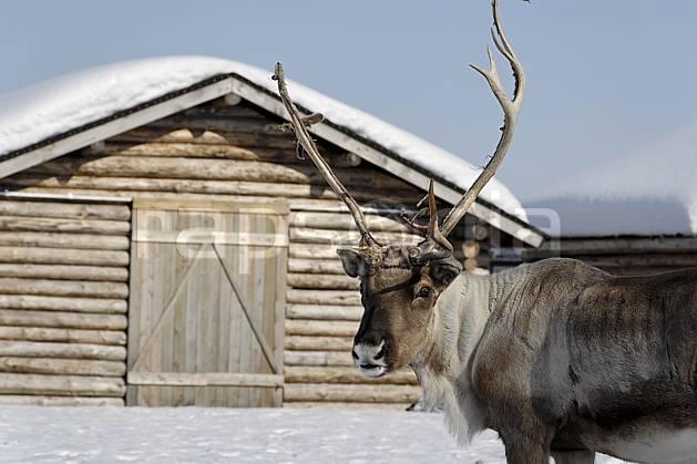 ec061673LE : Renne, Vuotso, Laponie.  Europe, CEE, traineau, cabane, cabane, C02, C01 faune, voyage aventure (Finlande).