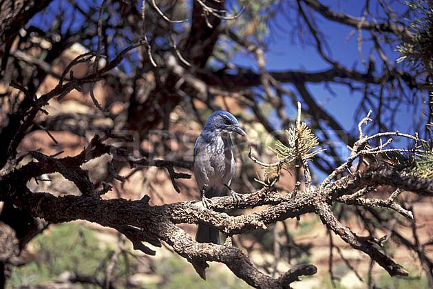 ec0653-37LE : Mountain Jay, Vermont.  Amérique du nord, ciel bleu, oiseau, C02, C01 faune, voyage aventure (Usa).