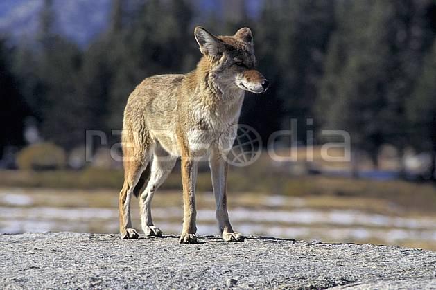 ec0666-26LE : Coyote, Yosemite NP, California.  Amérique du nord, parc américain, coyote, C02, C01 faune, voyage aventure (Usa).